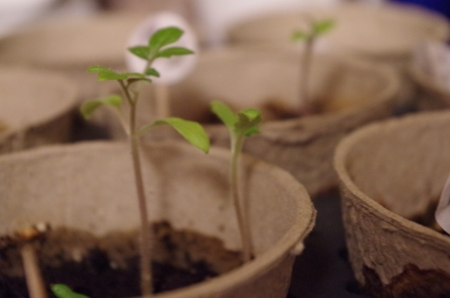 Herb seeds sprouted