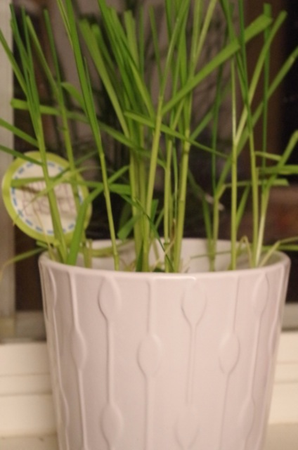 Wheat grass trimmed