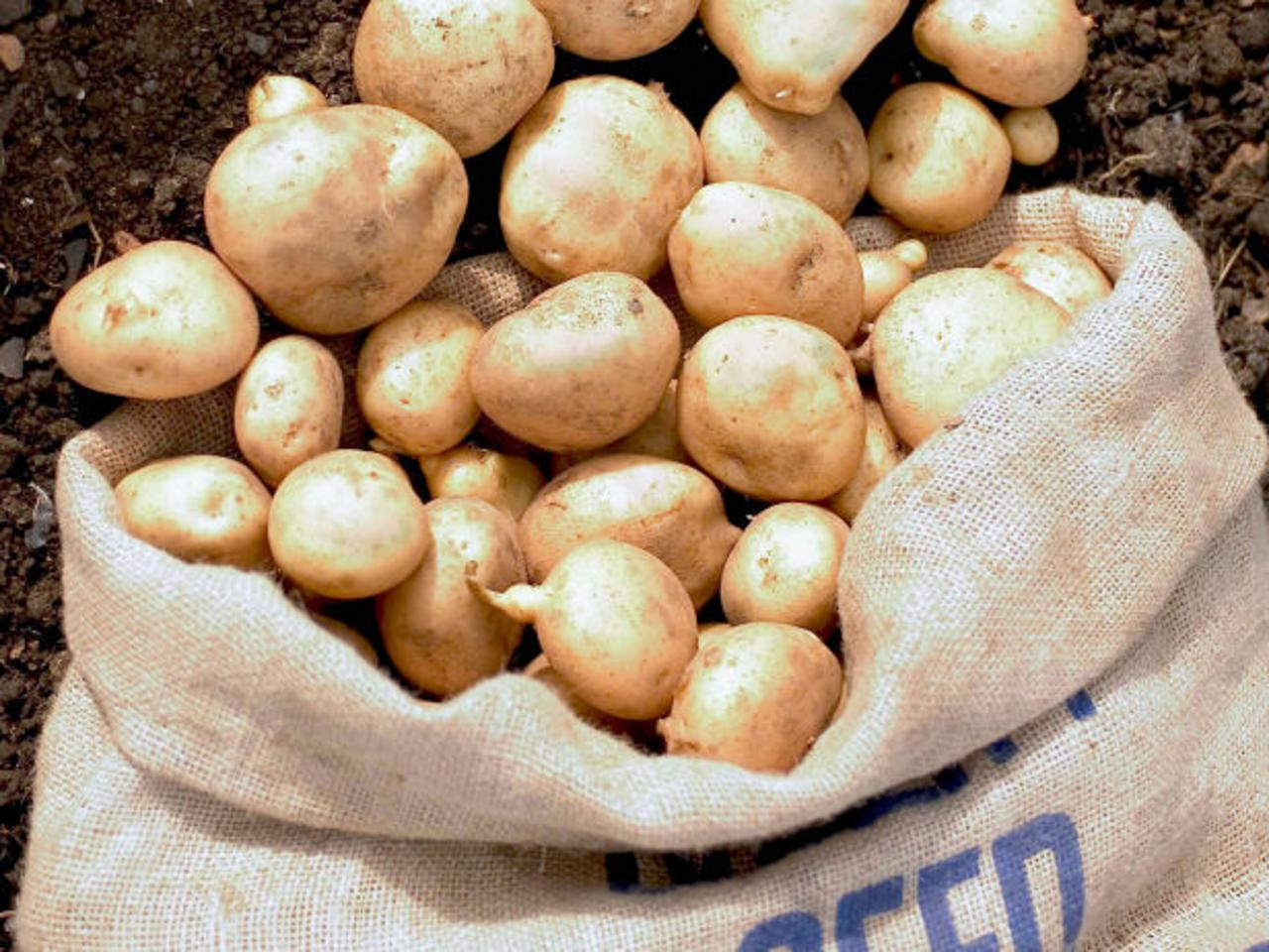 gleaned potatoes form potato harvest